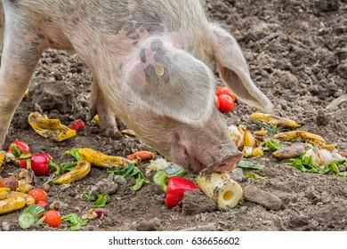 Pig eats colorful vegetables