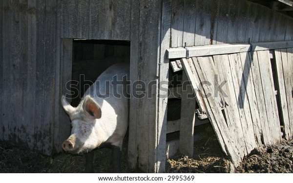 Pig Emerging from Pig Sty