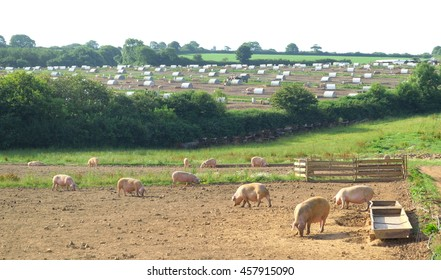 Pig farm in Devon, England