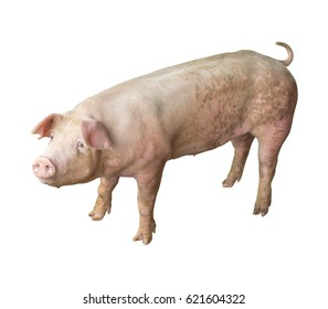 Pig in a pig farm, growing at the white background