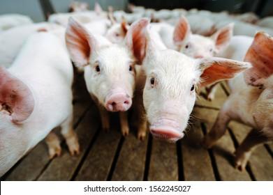 pig farm industry farming hog barn pork