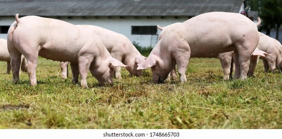Pig farming  raising and breeding of domestic pigs