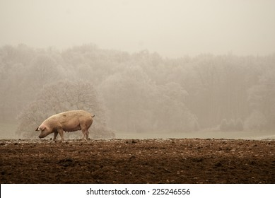 Pig in frost