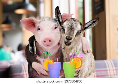 Pig and goat hugging while sitting in a cafe with cocktails