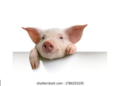 pig hanging its paws over a white banner piglet with white empty paper banner background.