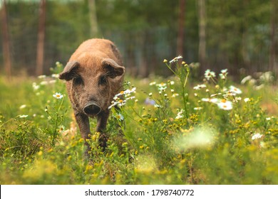 Pig of the Hungarian mangalitsa walk in a meadow among daisies. Piglet in a field among green grasses.