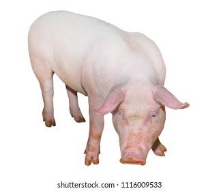 Pig isolated on white background full length. Very funny and cute pink pig standing and looking directly into camera. Farm animals. Piglet close up.