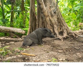 Pig in a jungle