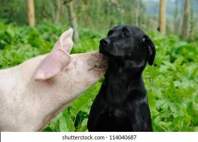 Pig kissing a black labrador outdoors