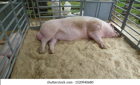 Pig with large testes lies in an aviary with sawdust. Big hog. Red hogging swine on a farm. The boar sleeps in the pen. Selective focus
