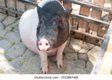A pig in the livestock