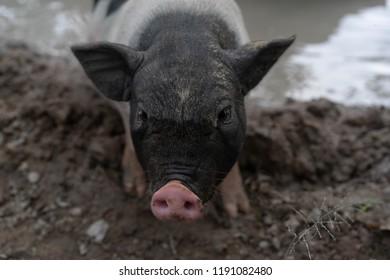 Pig Mix Wild Boar