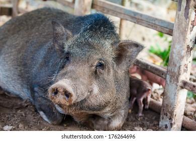 Pig native species