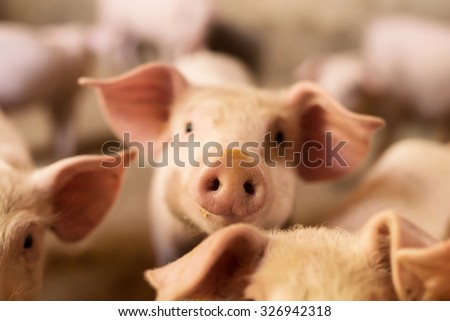 Pig nose in the pen. Focus is on nose. Shallow depth of field.
