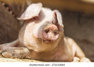 Pig nose in the pen. Shallow depth of field.
