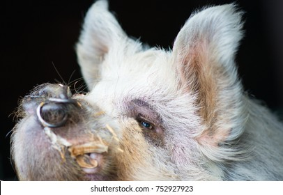 Pig with nose ring