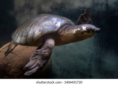 Pig nose turtle underwater close up portrait
