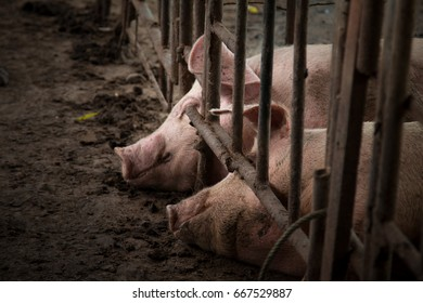 Pig is in old and dirty iron stalls.