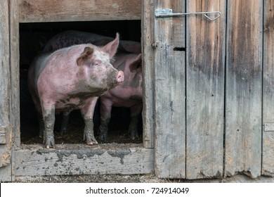 Big naked greasy pigs