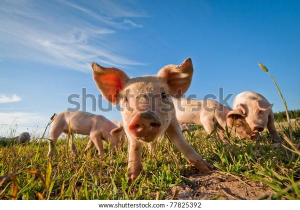 Schweinefleisch in Dalarna, Schweden