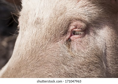 Pig on a Farm in Sweden