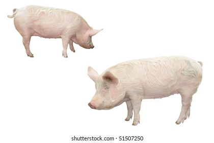 Pig on a white background