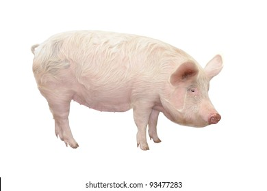 Pig, on a white background