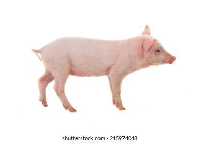 pig on a white background. studio. soft focus