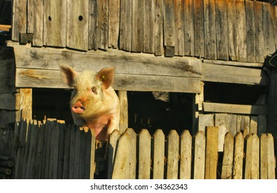 A pig over the fence