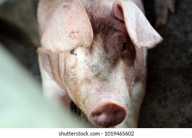 pig in a pig pen ,pig portrait