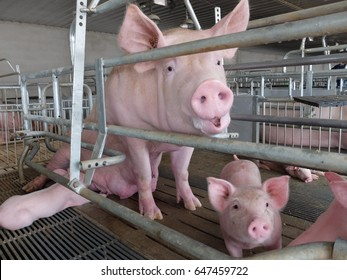 Pig and piglet in the stable.