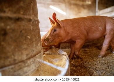 Pig at pigsty. Pig farm. Group of pigs at animal farm. Feeding pigs.
