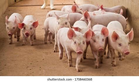 pig pork farm rural grange