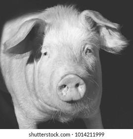 Pig portrait - Black and white matt tone
