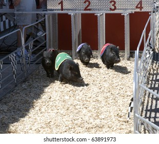 Pig race at the county fair