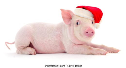 Pig in a red Santa Claus hat  isolated on white.