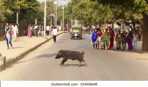 pig run across the road pilgrims go on Govardhan Parikrama Marg. India Govardhan, November 2016