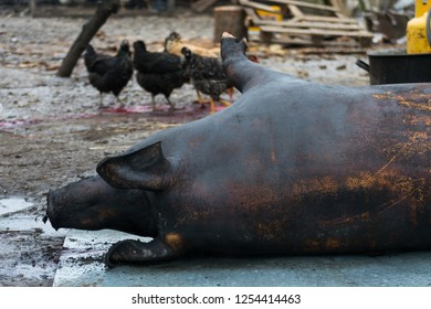 Pig slaughter. Primary treatment of carcasses after slaughter