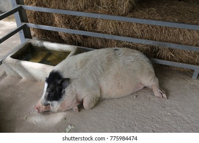 pig sleep in the cage