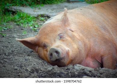 pig sleeping in dirt lazy pork farm animal big nose