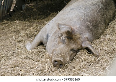 the pig is sleeping in his pen