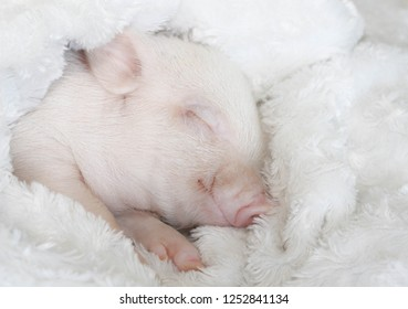 the pig sleeps wrapped in a white fluffy blanket and smiles seeing a sweet dream