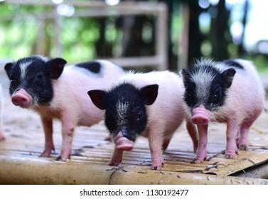 pig small body dwarf pigs miniature