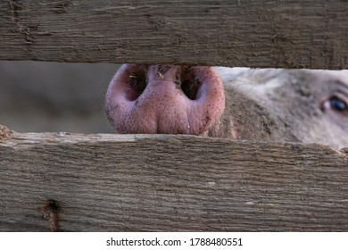 Pig snout close up through a hole in the fence.