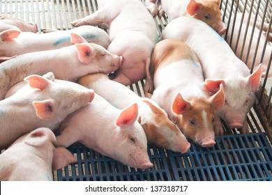 Pig in stable