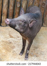 Pig is standing