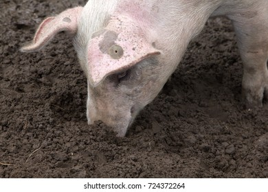 Pig sticking her nose in the mud, rooting, back of earmark visible.