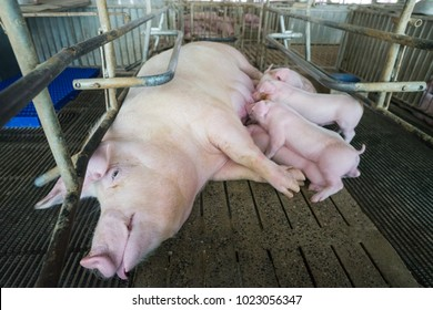 Pig and suckling pig in breeding pig farm
