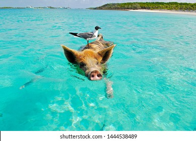 Pig swimming in the ocean in the Bahamas with seagull bird riding on its back