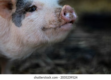 the pig is trying to sniff something with its snout
